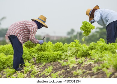 Vegetables field with rural farmer working background