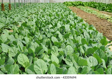 Vegetables Growing In A Farm