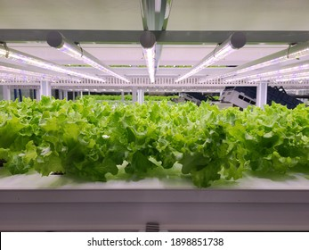 Vegetables are growing in indoor farm(vertical farm). Vertical farming is sustainable agriculture for future food and used for plant vaccine.