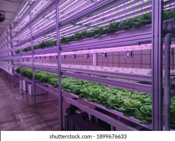 Vegetables are growing in indoor farm(vertical farm). Plants on vertical farms grow with led lights. Vertical farming is sustainable agriculture for future food and used for plant vaccine.