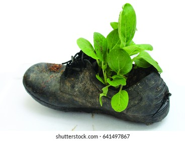 Vegetables growing on old shoes isolated on white background