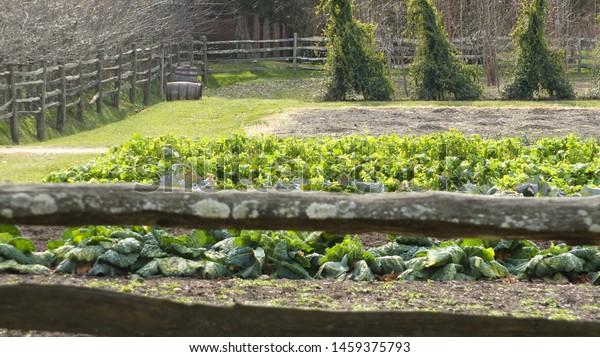 Vegetables grown in a garden on a farm.