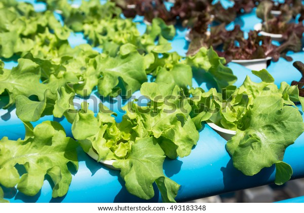 Vegetables grown without soil using a hydroponics.
