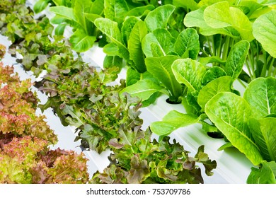 Vegetables in hydroponics farm background. Row of green and red oak vegetable in hydroponic pipe track