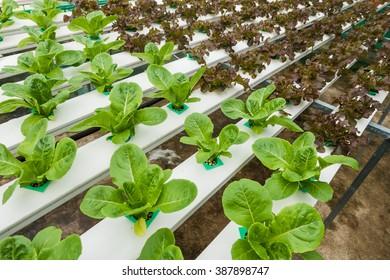 Vegetables hydroponics garden.