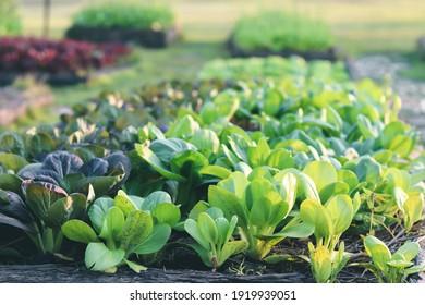A vegetables hydroponics. growing plants