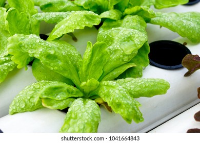 Vegetables hydroponics. Hydroponics method of growing plants using mineral nutrient solutions, in water, without soil. Close up Hydroponics plant.