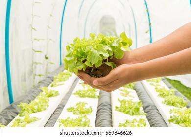Vegetables hydroponics in Organic farming