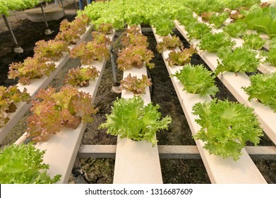 Vegetables hydroponics,Fresh organic vegetable in hydroponic vegetable field.