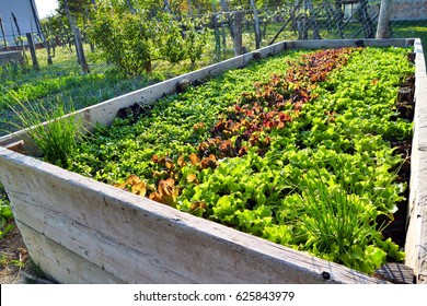 Vegetables in raised garden bed in permaculture garden - three different lettuce sorts