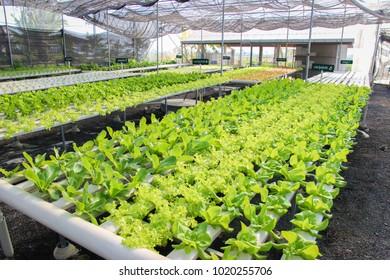 Vegetables Safe Hydroponics System