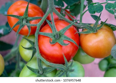 vegetables tomatoes plant
