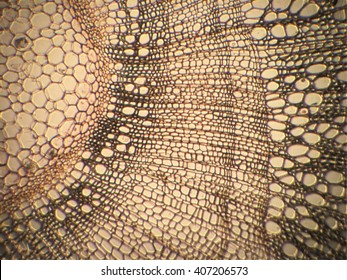 Vegetal tissue in optical microscopy.