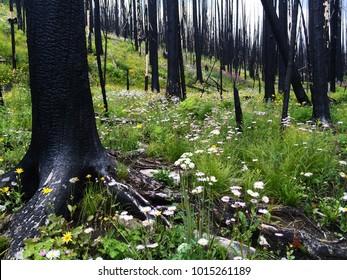 Vegetation begins to regrow after a devastating Colorado wildfire