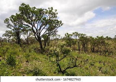 Vegetation of the Cerrado in the south of the state of Minas Gerais, Brazil