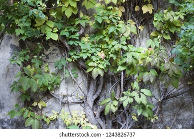 Vegetation growing on wall. Old Virginia Creeper plant on old gray plastered wall. Photographed in Tallinn, Estonia, Europe.