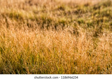 Vegetation of Iceland concept. Dry spikelets sunny autumn day close up. Vegetation diversity. Plants resistance climate conditions. Spikelets grow in field. Vegetation of field or valley.