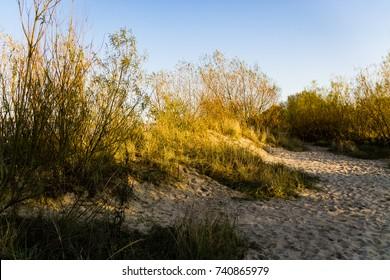 Vegetation on a dune at sunset against clear blue sky