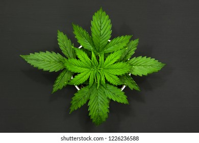 vegetation period. Marijuana leaves. Cannabis on a dark background. Beautiful background. Top view. Indoor cultivation. Cannabis Plant Growing.