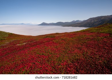 Vegetation is red on the hillside in the autumn. The Koni Peninsula, Magadan region.