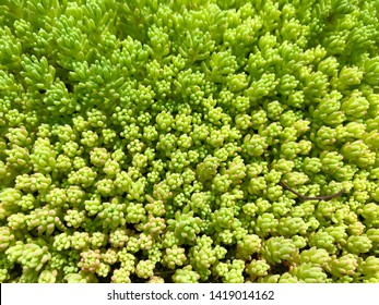 Vegetative background - green garden ornamental moss.