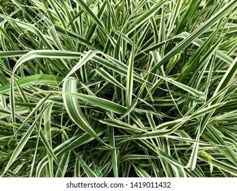 Vegetative background - green grass with white stripes.
