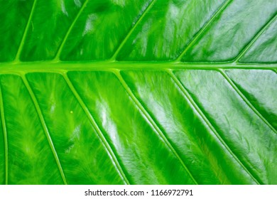 vegetative green texture banana leaf background juicy bright lines ribbed natural base design asia tropical pattern