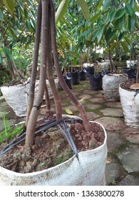 vegetative propagation of Durio zibethinus Grafting by approach or inarching technique, namely how to connect plants so that the upper stem and rootstock are still related to their respective roots