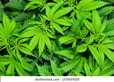 Vegetative stage of marijuana growth. Medical marijuana. Background of cannabis leaves. A large amount of marijuana. Growing cannabis indoors. SoG hemp cultivation technique. Growing pot in groutent.