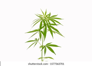 The vegetative stage of marijuana herb plants with a white background.