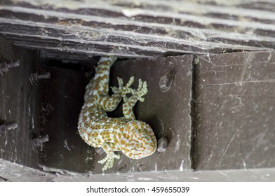 The veil of reptiles gecko on the roof