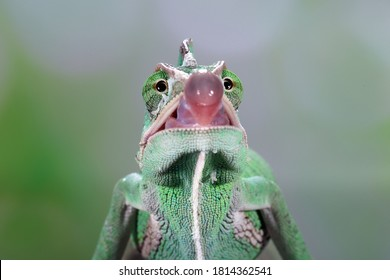 Veiled Chameleon catches its prey by sticking out its tongue which has a sticky bowl-shaped tip.