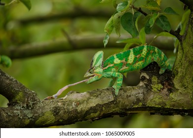 Veiled chameleon catching his prey on tree branch