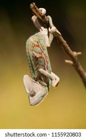 ベールドカメレオン(Chamaeleo calyptratus)は、イエメンとサウジアラビアのアラビア半島原産のカメレオンの種である。その他の一般的な名前には、cone-head chameleonとYemen chameleonがあります