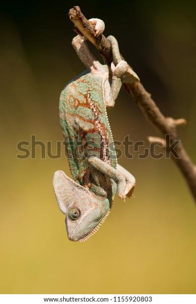Veiled chameleon (Chamaeleo calyptratus) is a species of chameleon native to the Arabian Peninsula in Yemen and Saudi Arabia. Other common names include cone-head chameleon and Yemen chameleon