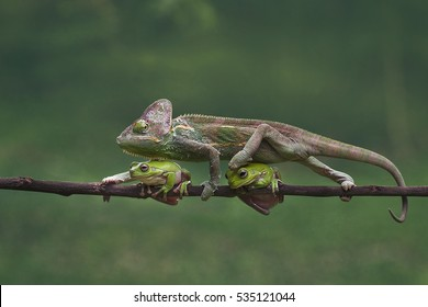 veiled chameleon (chamaeleo calyptratus) is walking through the two frogs. photo