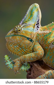 A veiled chameleon is holding a cecropia caterpillar but he can't eat it because his mouth is zipped shut.