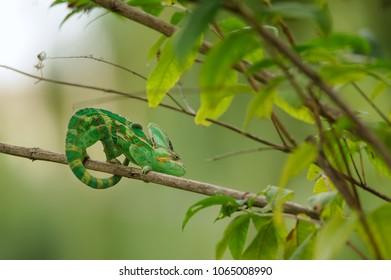 Veiled chameleon on branch