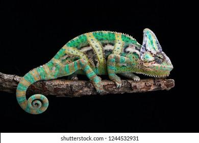Veiled chameleon on branch with black background, beautiful of chameleon veiled