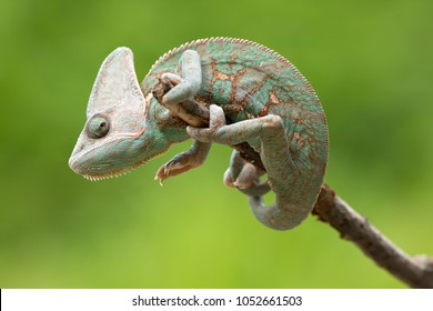 Veiled chameleon is a species of chameleon native to the Arabian Peninsula in Yemen and Saudi Arabia. Other common names include cone-head chameleon and Yemen chameleon