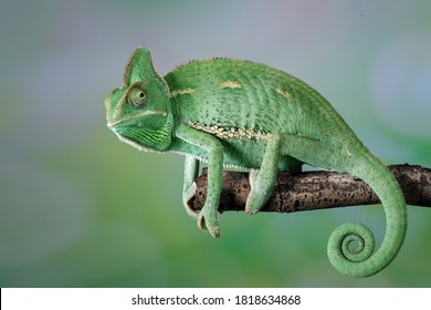 The Veiled Chameleon is a species of chameleon native to Yemen and Saudi Arabia. Other common names are Cone-head chameleon and Yemen chameleon.