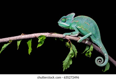 Veiled Chameleon walking on bamboo stick against black background. Chameleon isolated on black background.