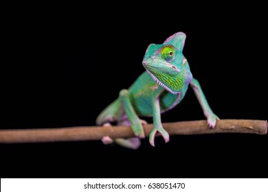 Veiled Chameleon walking on bamboo stick against black background. Chameleon isolated on black background