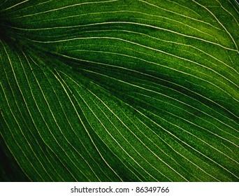 Veins of a Flowering Dogwood Leaf. Close up