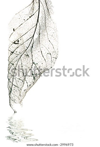 veins of an old magnolia leaf with reflection