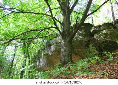 Veldensteiner Forst, Franconian Switzerland, Bavaria: old Common beech or European beech - Fagus sylvativa - in front of a overhanging rock cliff