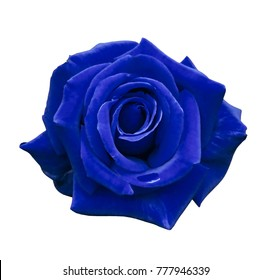 Velvet blue rose on a white isolated background with clipping path.  no shadows. Closeup. For design, texture, borders, frame, background.  Nature.