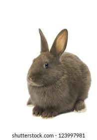 Velvet brown fluffy rabbit sitting on white background.