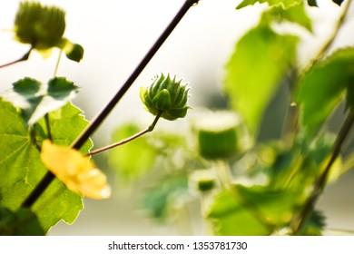 Velvet bud (Abutilon theophrasti)