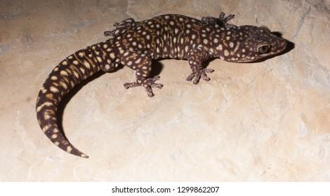 velvet geckos, Oedura found in australia, photographed in a private reptile collection